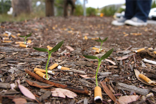 Cigg Seeds