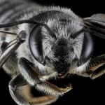 Les photographies d'abeilles de Sam Droege