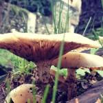 Du marc de café pour faire pousser des champignons